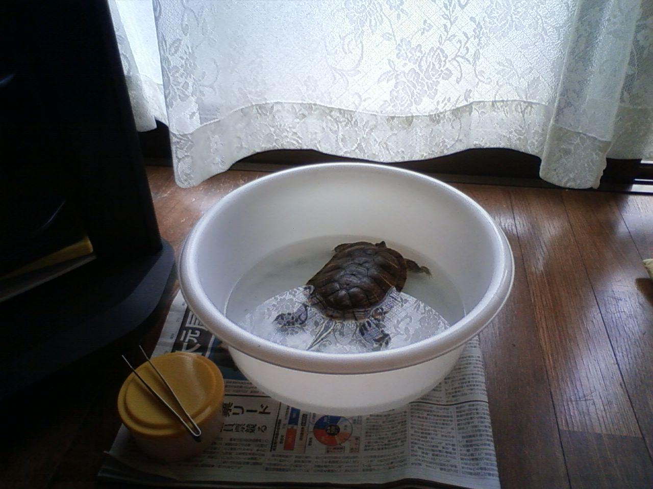 9月15日 カメ(小)保護隔離
